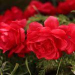 Wianek czerwone piwonie wianki na głowę na wieczór panieński  gadżety na wieczór panieński
